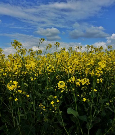 Canola Blossom Canola Field Yellow And Blue The Great Outdoors - 2017 EyeEm Awards My Cloud Obsession☁️ Art Is Everywhere EyeEm Nature Lover Nature_perfection EyeEm Masterclass Exceptional Photographs Landscape_photography Every Flower Is A Soul Mobilephotography Canolaflower Canola Crops  Malephotographerofthemonth Eye4photography  Flower Collection Flower Photography Flowers Of EyeEm Rural Scene England 🌹 April 2017 Springtime Ukranian Flag