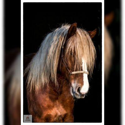 Portrait Photography Portrait Adorable Horse Horsephotography SchwarzwalderFuchs Blackforest Chestnut
