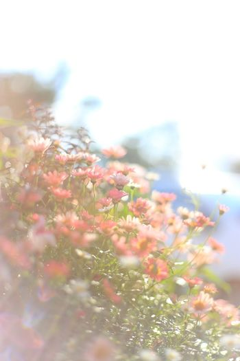 Flower Nature Beauty In Nature Pink Color Hokkaido Sapporo EOS 6D