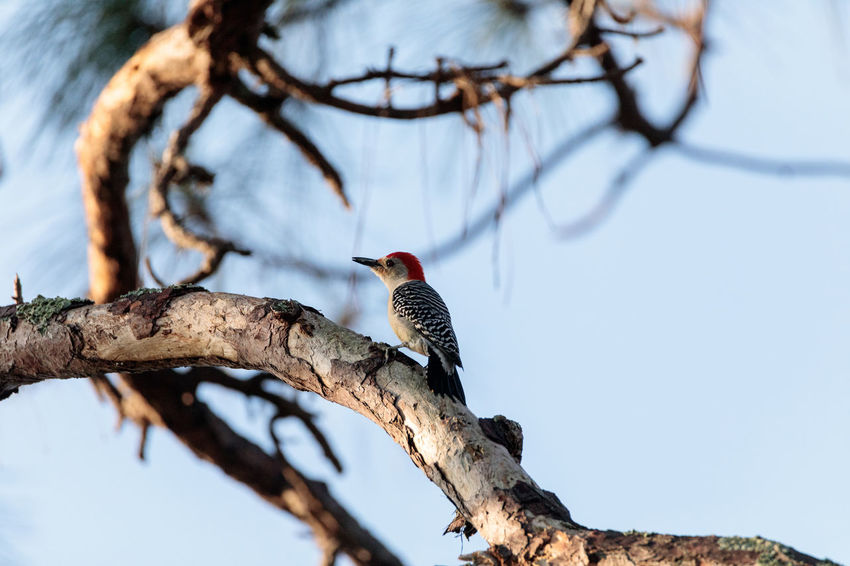 Red-bellied woodpecker Melanerpes carolinus pecks at a palm tree in Naples, Florida Melanerpes Carolinus Red-bellied Woodpecker Animal Animal Themes Animal Wildlife Animals In The Wild Bare Tree Bird Branch Day Focus On Foreground Low Angle View Nature No People One Animal Outdoors Perching Plant Sky Tree Vertebrate Woodpecker Woodpeckers