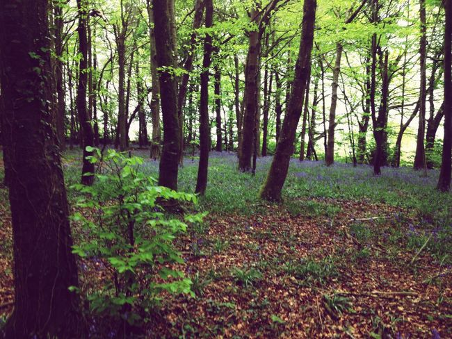 Bluebells Forestfloor Forestflowers Colors Evening