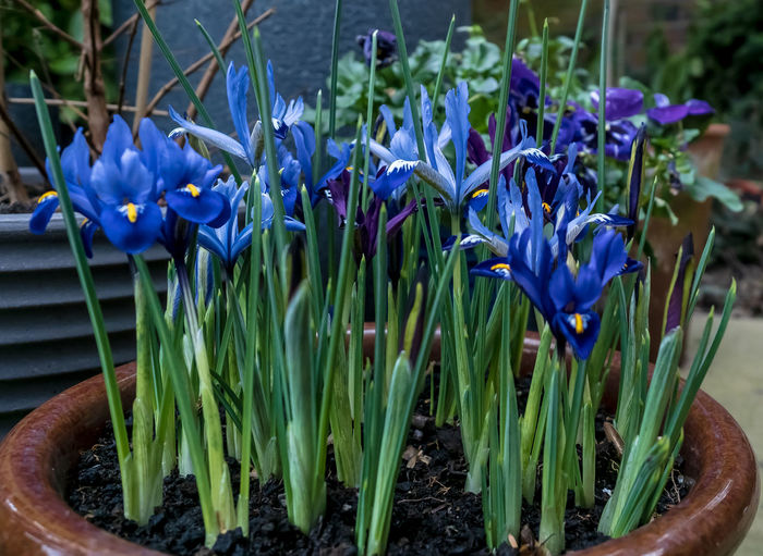Close-up of blue flowering plant in pot