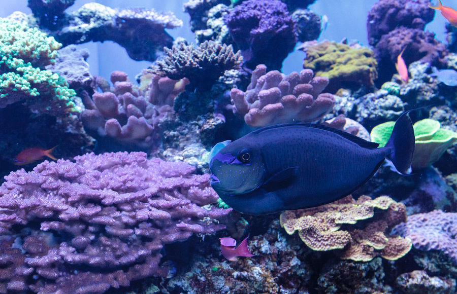 Bignose unicornfish known as Naso vlamingii in a coral reef Animal Themes Animals In The Wild Beauty In Nature Bignose Unicornfish Coral Reef Day Fish Naso Vlamingii Nature No People Sea Life Swim UnderSea Underwater Water