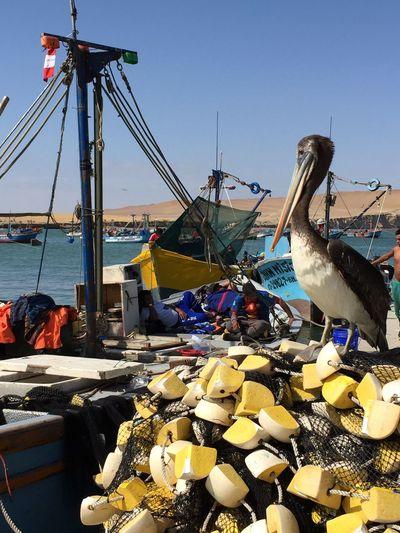 Ballestas island, Perù Peru Ballestasisland Ballestas Islands Nature Fisherman Pellican