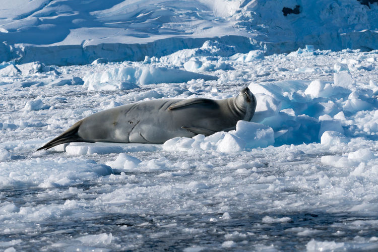 Seal lying in snow