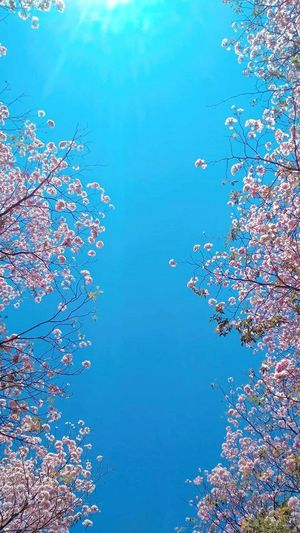 Cherry Blossoms Nature No People Multi Colored Day Outdoors Sky Plant Tree Beauty In Nature Marine Close-up
