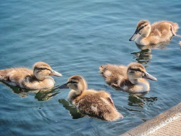Well Hello Little Ones Entlein Ducklings In The City Ducklings Water Group Of Animals Animal Wildlife Bird Animals In The Wild Animal Themes Animal Waterfront Young Bird Nature High Angle View