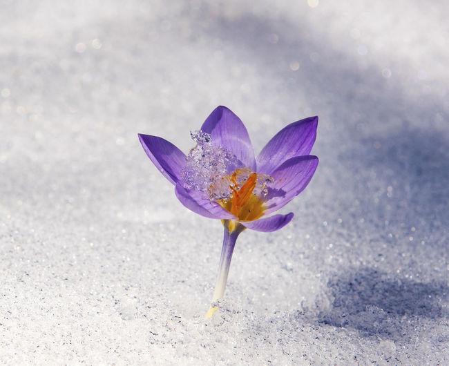 Close-up of crocus flower