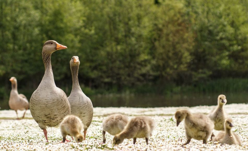 Animal Animal Family Animal Themes Animal Wildlife Animals In The Wild Bird Day Focus On Foreground Goose Gosling Group Of Animals Land Medium Group Of Animals Nature No People Outdoors Plant Tree Vertebrate Young Animal Young Bird