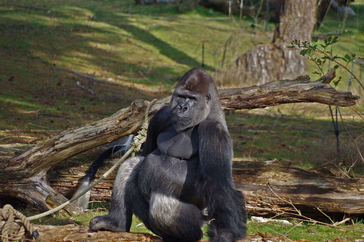 Portrait Of Gorilla In Zoo