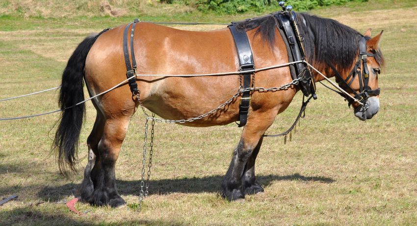 A working/Shire horse harnessed up ready to go to work in a field... Horses Ploughing Animal Themes Bridle Close-up Day Domestic Animals Field Grass Harness Hay Heavy Horses Horse Horse Brasses Livestock Mammal Meadow Meadows And Fields Nature No People Outdoors Shire Horses Summer Working Horses Working The Land