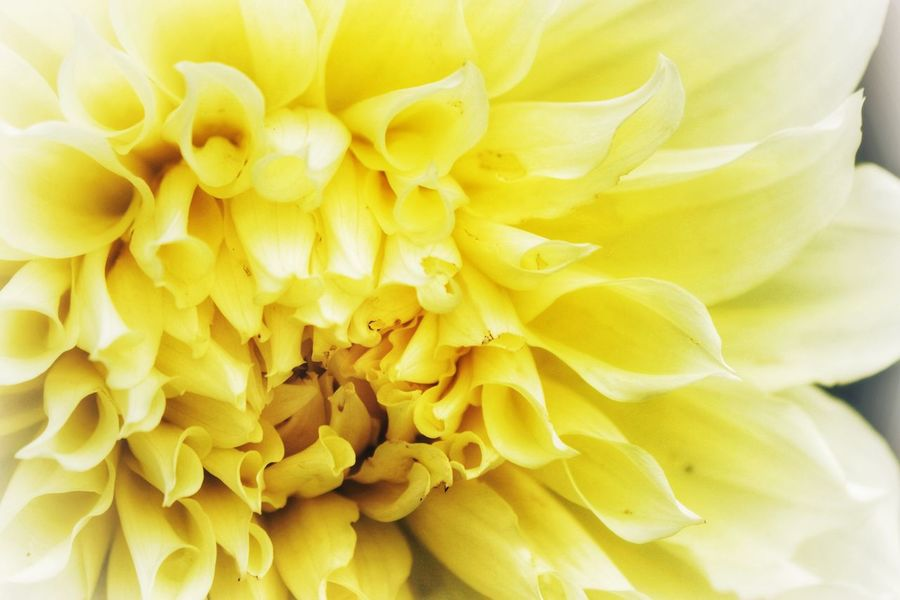 Flower Flowering Plant Yellow Flower Head Plant Petal Inflorescence Backgrounds No People Nature Vulnerability  Growth Full Frame Freshness Fragility Close-up Beauty In Nature Day Dahlia