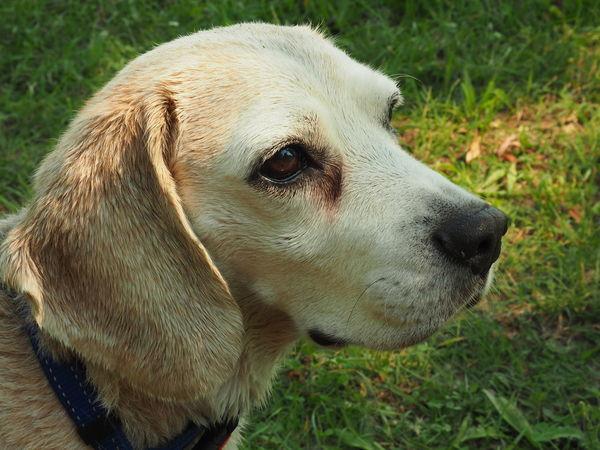 Betyár Beagle Beaglelove Beaglelovers Beagleoftheday Beagles  Betyár Dog DogLove Doglover Dogs Dogs Of EyeEm Dogslife Hunter Hunters Kutya Kutyasetaltatas Mypuppy Puppy Puppy Love Puppyeyes PuppyLove Raskal