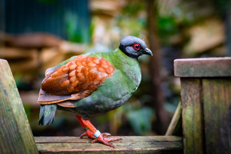 Female crested partridge (Rollulus rouloul) also known as the crested wood partridge, roul-roul, red-crowned wood partridge, green wood quail or green wood partridge. Crested Partridge Partridge Bird Perching Crested Wood Partridge Green Wood Partridge Green Wood Quail Red-crowned Wood Partridge Roul-roul Females Animal Game Bird Vertebrate One Animal Focus On Foreground Animal Wildlife Animal Themes Close-up Plummage Endangered Species No People