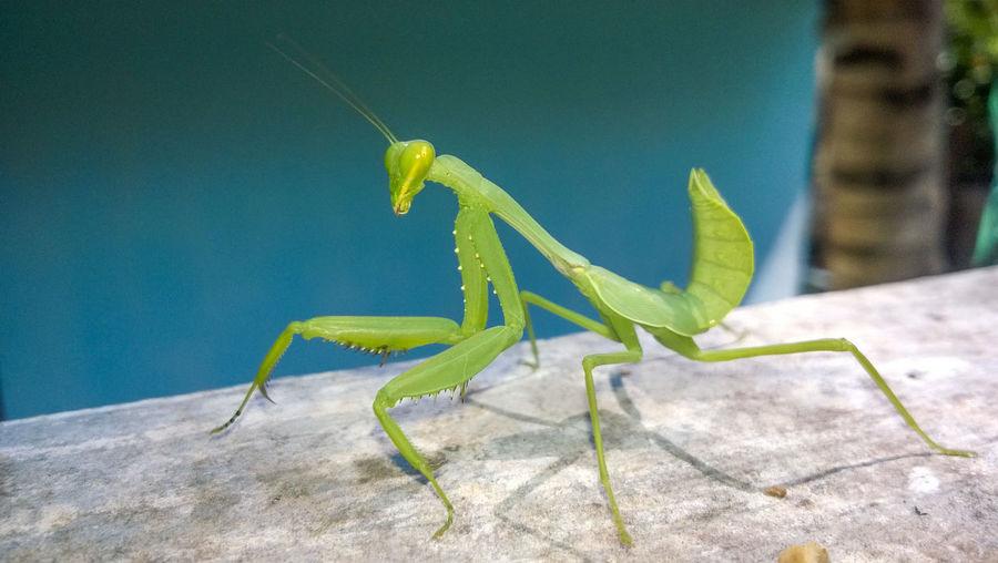 Close-up of praying mantis on wall