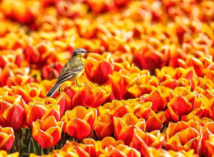Western Yellow Wagtail On Orange Tulips During Sunny Day