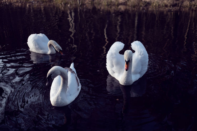 High angle view of swans swimming in lake