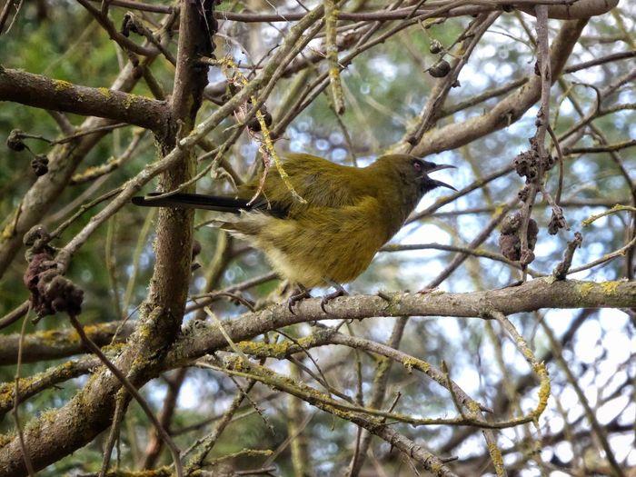 Bird Bird Singing Belllbird Branch Tree One Animal Low Angle View Animals In The Wild No People