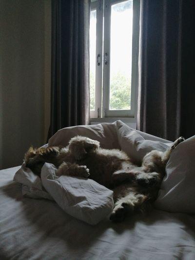Shih Tzu Sleeping Dog Lovemelovemydog Bedroom Curtain Relaxation Window