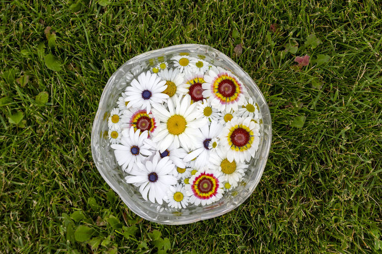 High angle view of daisy on grassy field