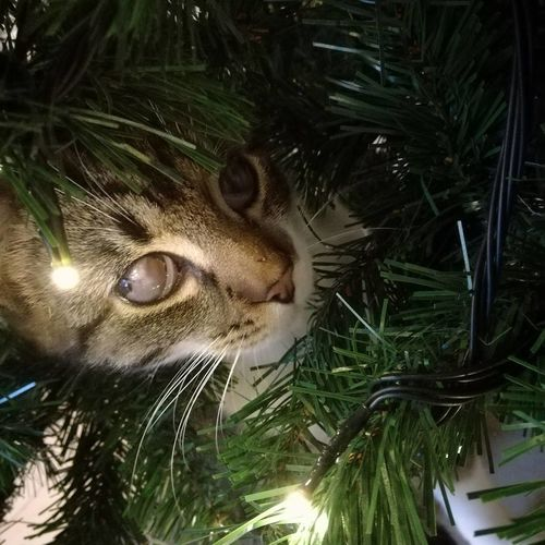 🎄🐱 #cat #ChristmasTree #CatandTree #lights #christmastime One Animal No People