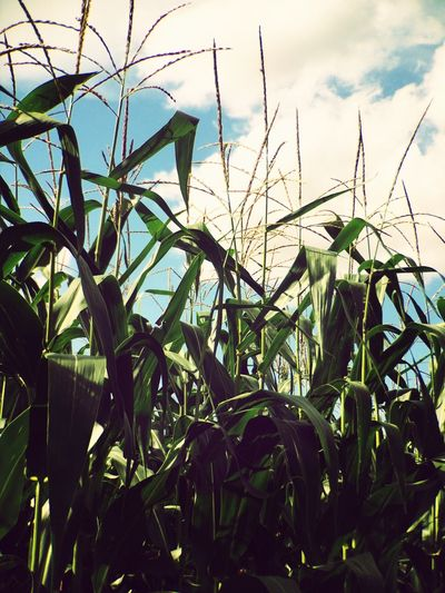 Corn Field Makemoments Momenttele