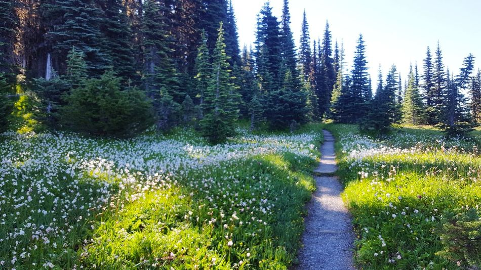 Day 7 of 9, beautiful stretch of trail Trail Mount Rainier National Park Mount Rainier, Washington, Nature, The Great Outdoors - 2018 EyeEm Awards Tree Forest Sky Grass Lush - Description Pathway Greenery Woods Green Pine Tree Tranquil Scene Pine Woodland Walkway