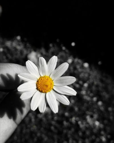 Margherita Taking Photos Check This Out Hello World NoFILTER :) Like Colorful Sweets Flowers :) Margherita Mountains Blackandwhite Yellow Flower Italia Italiangirl HuaweiP9