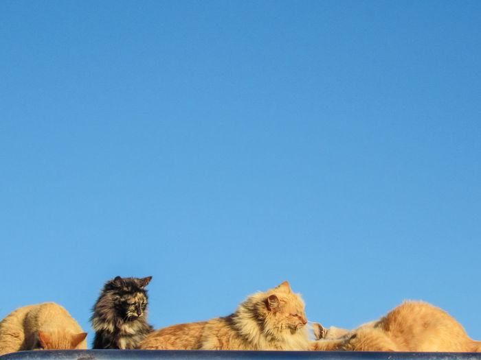 Low angle view of cats against clear blue sky
