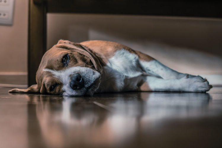 Beagle Colorpallet Colorpallete Pet AnimalTheme Pose Looking Domesticanimals Canine Indoors  Friendforever PortraitPhotography Lookingatcamera Rest Modeldog  Innocence Orange Brown Model Contrast Light And Shadow Mammal Portrait Pets Relaxation Lying Down Sleeping Resting Reflection Close-up