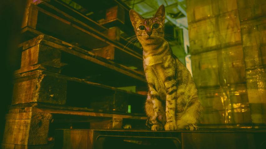 Leopard Pets Feline Portrait Domestic Cat Archival