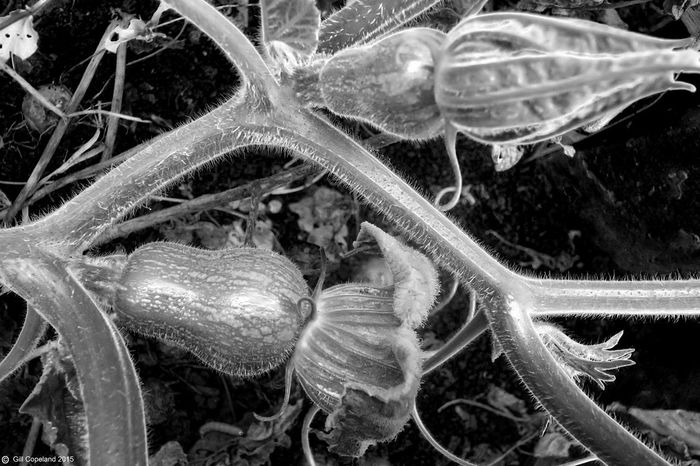Butternut Squash Butternut Black And White Photography Growth No People Close-up Plant Nature Beauty In Nature Plant Part Leaf Biology Flower Science Full Frame Fragility Squash - Vegetable Garden Photography Vegetables