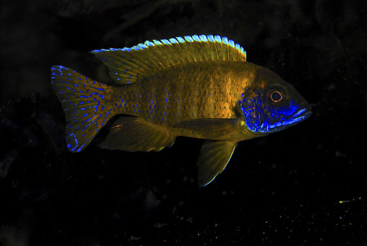 Sunshine Peacock Cichlid African Cichlids Animal Markings Animal Themes Aquarium Aquarium Life Cichlid Cichlids Close-up Focus On Foreground Freshwater Fish Nature One Animal Peacock Cichlid Sunshine Cichlid Sunshine Peacock Cichlid Swimming Underwater Water Wildlife Yellow Yellow Fish Zoology Pet Portraits Paint The Town Yellow