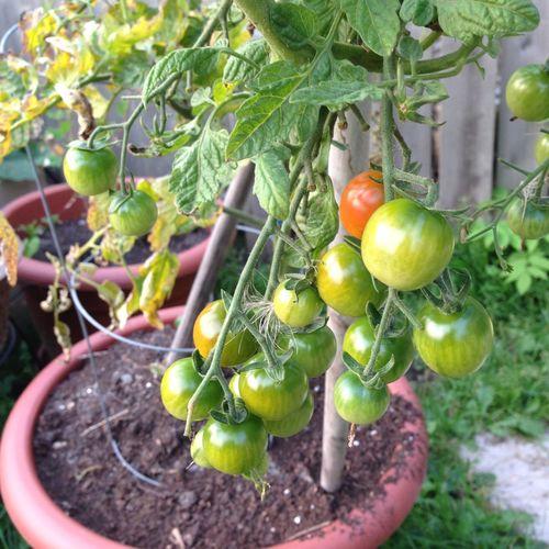 Nofilternoedit Fresh Produce Garden Tomatoes Organic Learn & Shoot: Layering