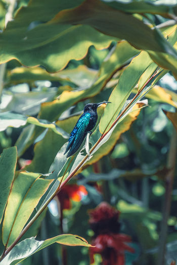Colibri, Martinique, Jardin de Balata Birds Of EyeEm  Humming Bird Martinique Animal Animal Wildlife Animals In The Wild Beauty In Nature Bird Birds_collection Close-up Colibrí Day Green Color Hummingbird Island Leaf Nature One Animal Outdoors Perching Plant Plant Part Tropical Tropical Animal Tropical Bird