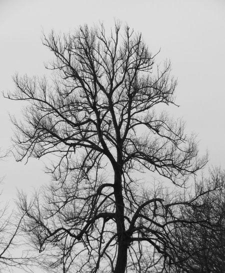 Blackandwhite Tree Branch Bare Tree Tree Trunk Sky