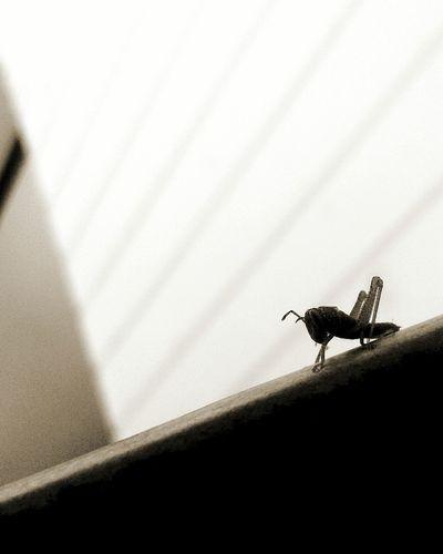 🐛 ınsects 🐌 Böcek çekirge Little Baby Grasshopper Locuts Black&white EyeEmNewHere EyeEm Selects Pet Portraits
