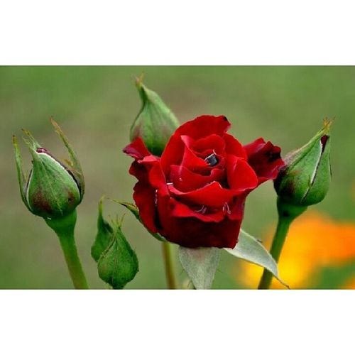 When the Flower blossom under the light rain of winter FirstDrop Drops Greenry Gulab RedRose Rose Winter Mardan KhyberPakhtoonkhawa Pakistan KP KPK