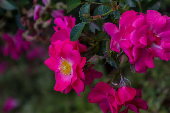 Pink Tea Roses Beauty In Nature Blooming Close-up Day Flower Flower Head Focus On Foreground Fragility Freshness Growth Nature No People Outdoors Petal Pink Color Pink Flowers Plant Roses Tea Roses Yellow Center Yellow Centered Flowers