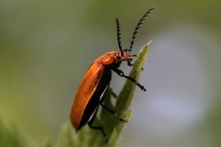 Close-up of cardinal beetle on a green leaf