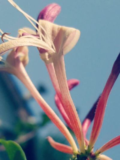 From My Point Of View From Where I Stand Pink Flowers Blue Sky Pink Flower 🌸 Pink Flowers Bloom Honey Suckle Pink Flower Flower In Macro Honey Suckles Flower Collection Macro Nature Flower Simple Things In Life Flower Head Wildflowers Flora Flower Photography Close Up Flower Flowers Simple Beauty Honeysuckle Flower My Point Of ViewPink Flower Blossom Honeysuckle