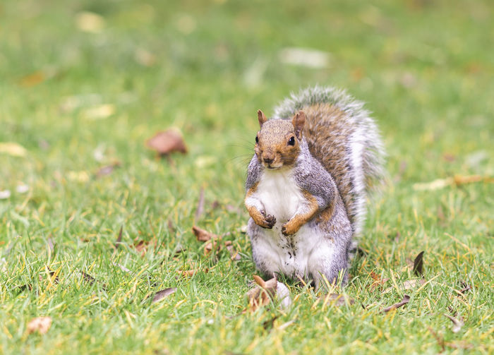 View of squirrel on grass