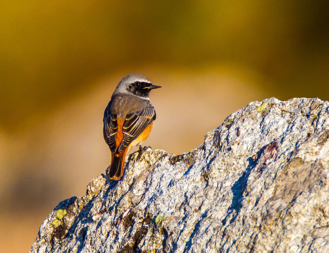 Animal Themes Bird Photography Close-up Common Redstart European Birds Nature Nature Photography No People One Animal Phoenicurus Phoenicurus Redstart Western Palearctic Wildlife & Nature Wildlife Photography