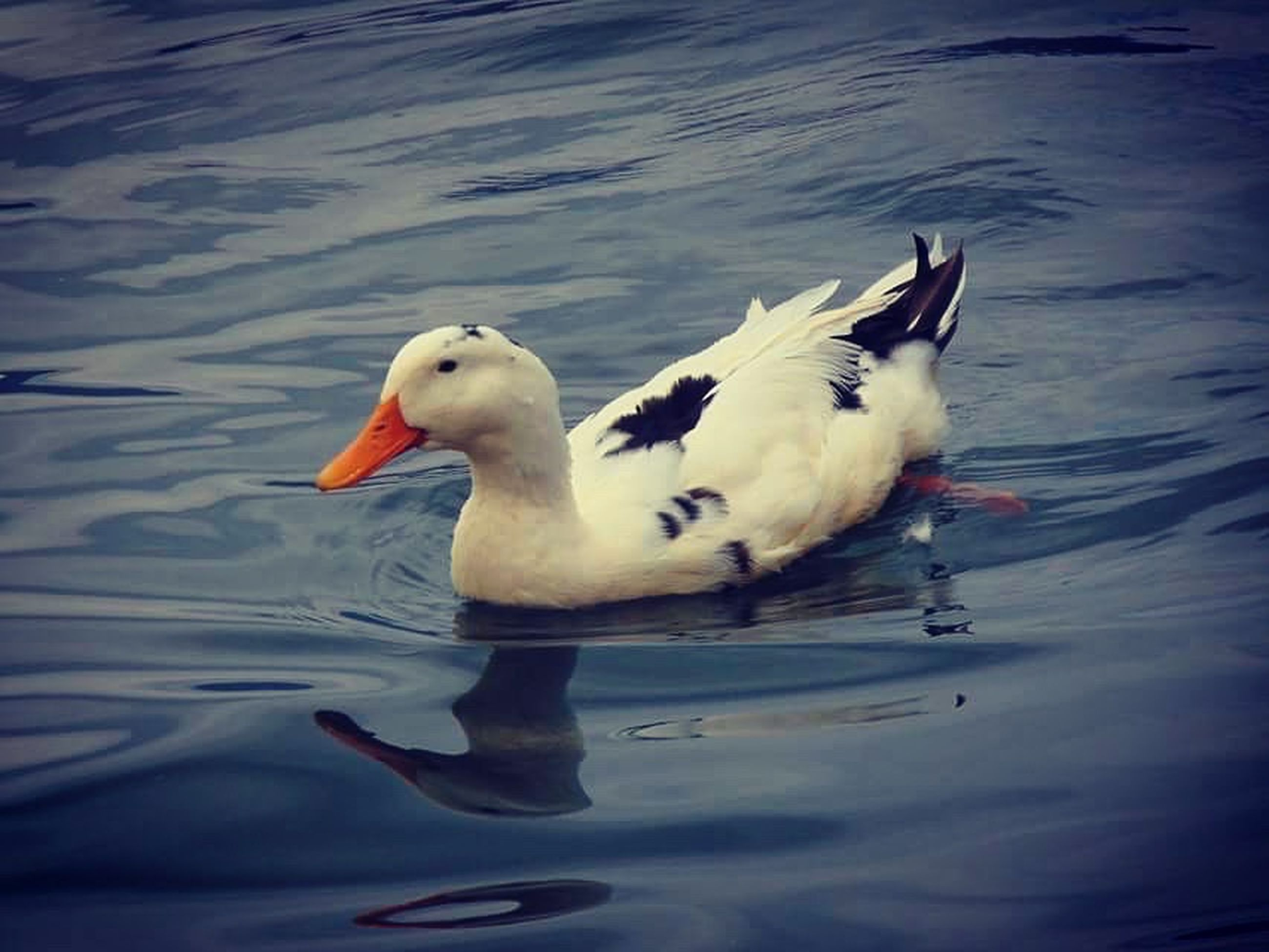 bird, animal themes, water, lake, animals in the wild, one animal, swimming, nature, animal wildlife, no people, day, swan, outdoors, beauty in nature, close-up