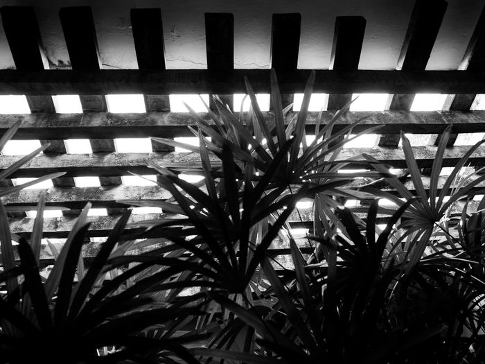Palm leaves against a trellis - Geoffrey Bawa House Colombo Backgrounds Beauty In Nature Black And White Close-up Day Geoffrey Bawa Green Color Growing Growth Leaf Low Angle View Nature No People Outdoors Palm Leaves Plant Sky Tranquility