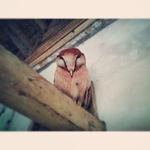 Sleep Owl Orientalbayowl Bayowl Phodilusbadius Wowowiwi Serakbukit Birdofprey Birdsofprey Owlsofinstagram Birdoftheday Photooftheday Wildlifephotography