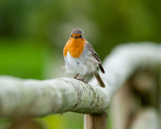 Animal Themes Animal Wildlife Animals In The Wild Beauty In Nature Bird Close-up Day Focus On Foreground Nature No People One Animal Outdoors Perching Robin