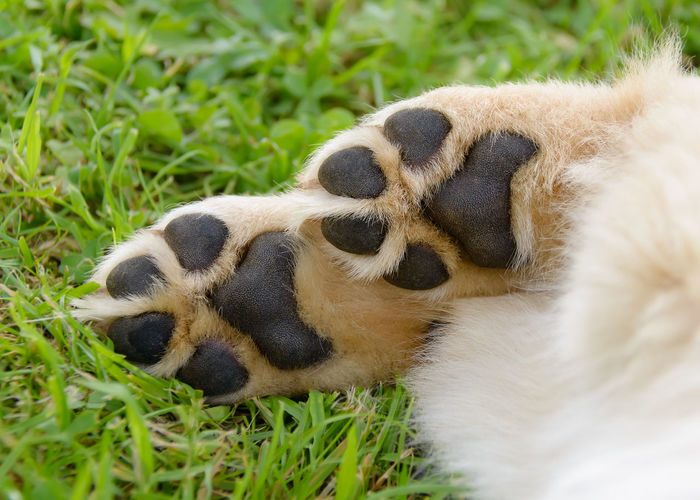 Dog's paws showing pads, Golden Retriever puppy. Dogs Feets Foot Golden Retriever Golden Retriever Puppy Animal Animal Themes Balls Of Feet Bottom Close-up Digital Pads Digits Dog Dog's Digits Dog's Pads Dog's Paw Domestic Animals Mammal Metacarpal Pad Nature Pads Paw Paws Pet Sole