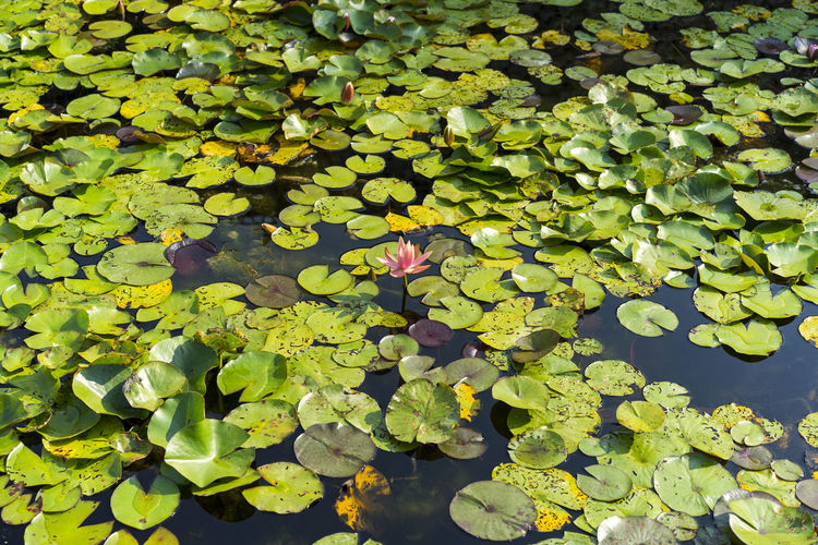 Water Lily Beauty In Nature Floating Floating On Water Flower Lake Leaf Leaves Lotus Water Lily Nature No People Outdoors Plant Plant Part Water Water Lily