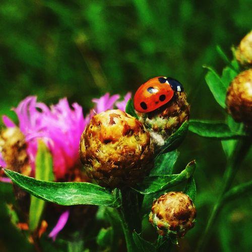 Ladybug Flower Insect Leaf Close-up Plant